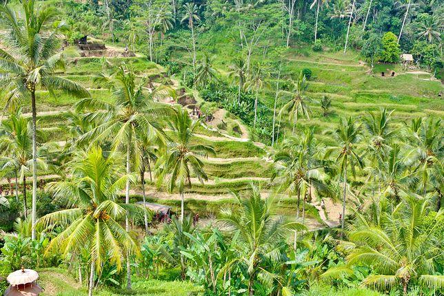 Atrakcje Bali - pola ryżowe
