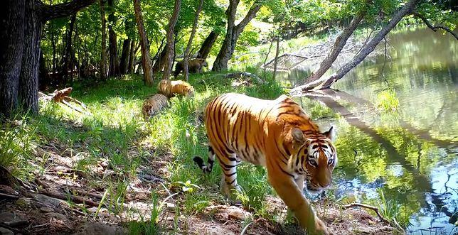 Tygrysy amurskie