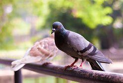 Uporczywi skrzydlaci sąsiedzi. Jak się skutecznie pozbyć gołębi z balkonu?