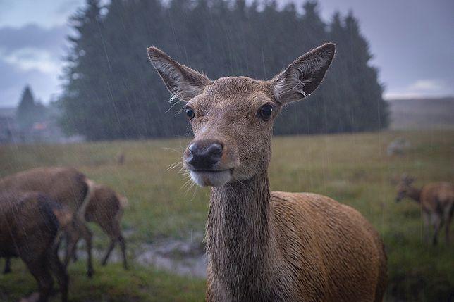 Zwierzęta cieszą się z opadów deszczu. Zdjęcie ilustracyjne