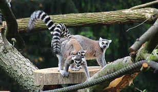 Przeprowadzka lemurów w stołecznym ogrodzie zoologicznym