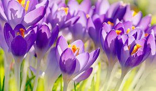 Pierwszy dzień wiosny – czwartek, 21 marca 2019. Dziś rozpoczęła się kalendarzowa wiosna. Sprawdź, jak witamy ją w Polsce