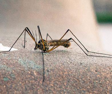 Komary zaatakowały naszych sąsiadów. Czesi mówią, że takiej plagi nie widzieli od lat