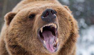 Kanada - niedźwiedź grizzly zabił matkę i jej dziecko.
