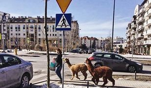 "Alpaki z ośrodka ""Koparka"""