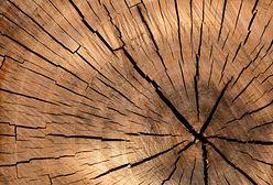 Śląsk. A Wy macie swoje ulubione drzewo? Trwa plebiscyt