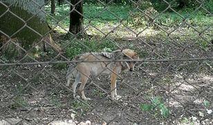 Jeden z wilków w rezerwacie w Białowieży