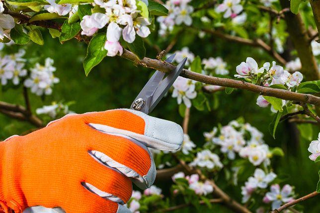 Podcinanie to element pielęgnacji drzew