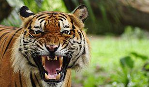 Tygrys bengalski grasuje w stanie Maharasztra w Indiach