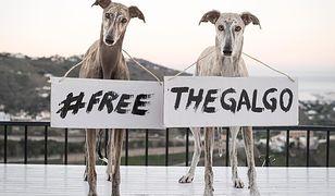 Organizacje prozwierzęce nagłaśniają informację o skandalicznym traktowaniu chartów