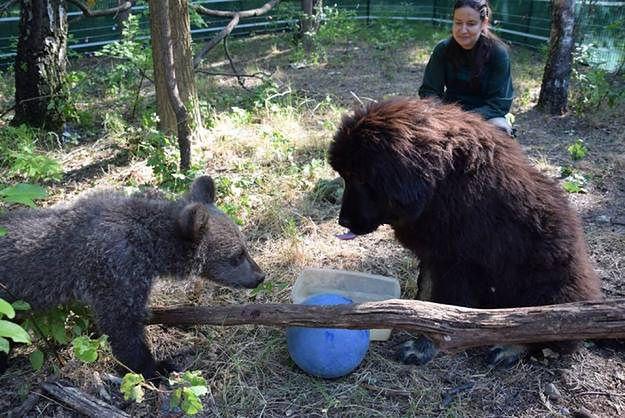 Mała niedźwiedzica z poznańskiego zoo będzie wychowywać się z... psem