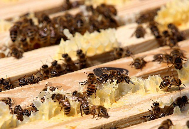 Rzeszów: Otrucie pszczół. Zginęło 2,5 miliona owadów
