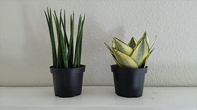 Roślina idealna do sypialni. Oczyszcza powietrze (WIDEO)