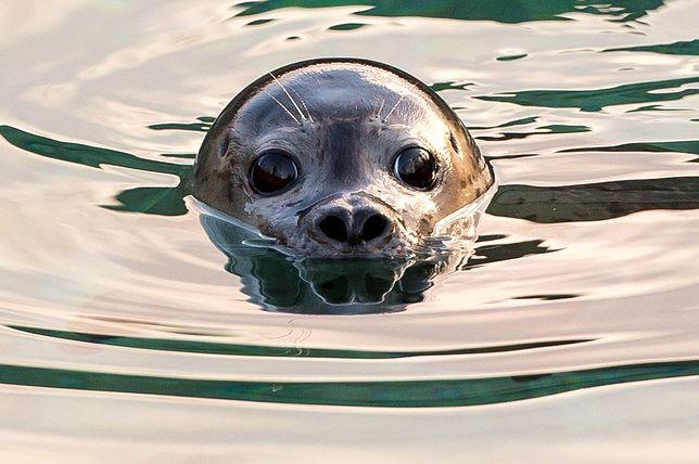 Ktoś zabija foki nad Bałtykiem. Wyznaczono nagrodę za pomoc