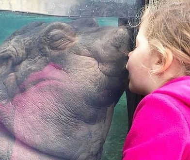 Hipopotamica Fiona w zoo w Cincinnati podbiła serca internautów na całym świecie