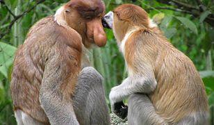 Nosacz sundajski w naturze występuje tylko na wyspie Borneo