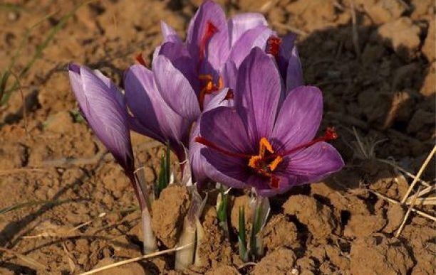 Kwiaty szafranu