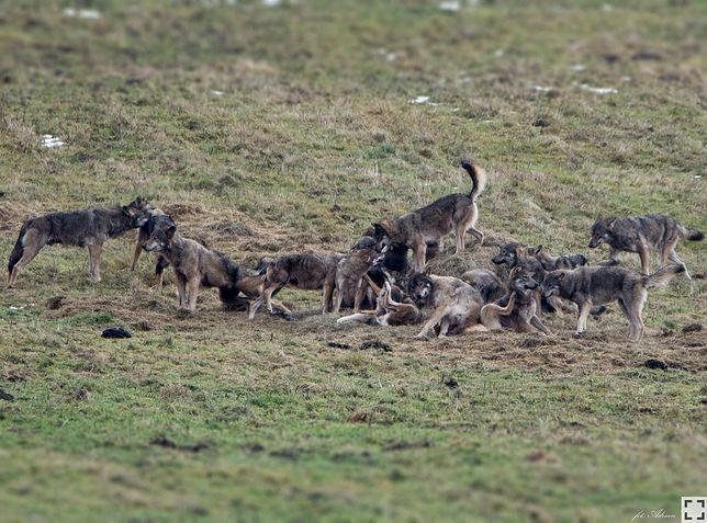 Ogromna wataha wilków w Dolinie Sanu. Zdjęcia