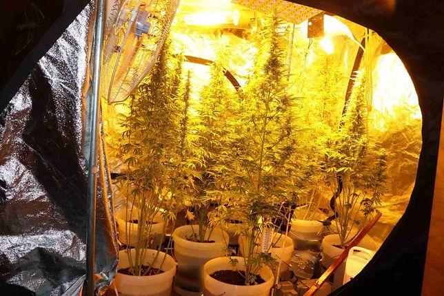 Jaworzno. Policjanci zlikwidowali domową plantację marihuany.