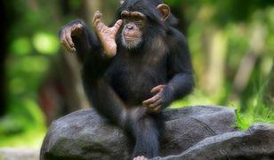 Trzecie urodziny szympansa Tytusa. Przyjęcie urodzinowe w warszawskim ZOO
