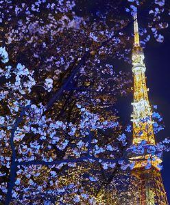 Wiśnie w Japonii pomyliły wiosnę z jesienią. Już rozkwitły