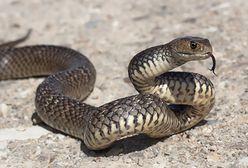 Australia. Zaatakował go jadowity wąż podczas jazdy samochodem
