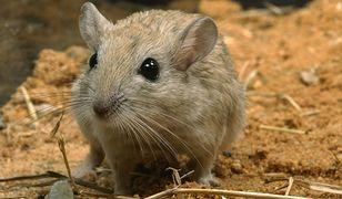 Uczeń bestialsko zabił myszoskoczki, a później rzucał ich szczątkami po klasie