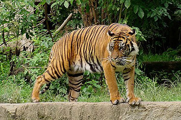 Tragedia we wrocławskim zoo. Tygrys zagryzł opiekuna