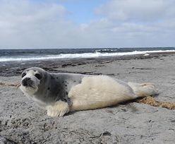 Setki tysięcy martwych fok. Obrońcy zwierząt alarmują