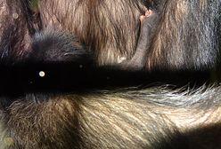 W warszawskim ZOO urodził się pierwszy w historii szympans! [ZDJĘCIA}