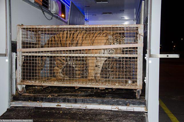 Tygrysy na skraju wyczerpania. Jest śledztwo prokuratury