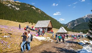 Natura nie zważa na prognozę pogody. W Tatrach krokusy, w Jeleniej Górze bocian