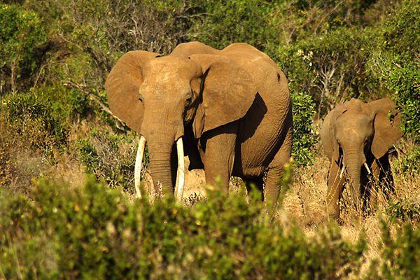 Wraz ze słoniami znikną niektóre drzewa