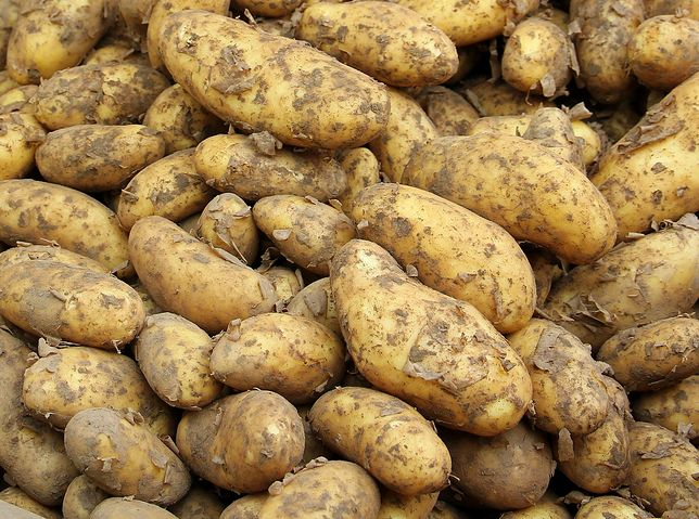 Zeszłoroczne zbiory ziemniaków były o 40 proc. większe niż w 2019 r.