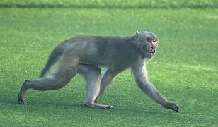 Małpy ukamienowały w Indiach człowieka