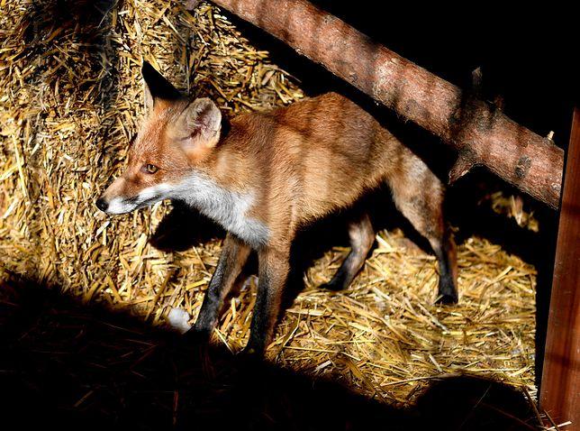 Na zdjęciu: młody lis