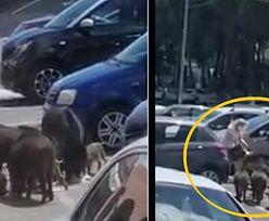 Dziki zaatakowały bezbronną kobietę na parkingu. Przerażająca scena