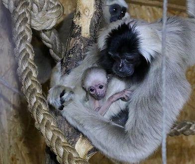 Nowourodzony gibbon.