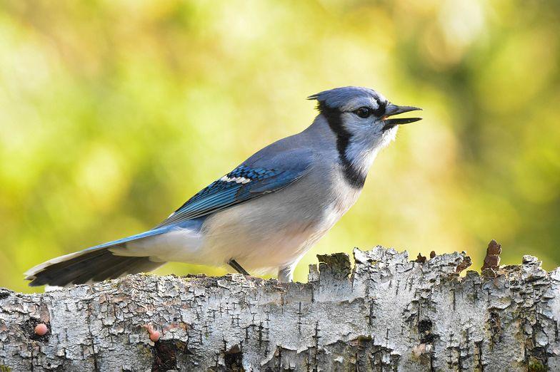 Tajemnicza choroba atakuje ptaki w USA. Naukowcy nie wiedzą, co się dzieje