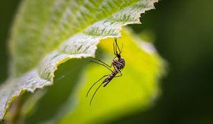 Jak się ochronić przed komarami? Naturalne środki, które odstraszą uciążliwe owady