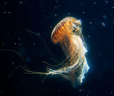 Spotkanie z meduzą - nawet z bełtwą festonową - nie zagraża życiu. Trzeba jednak uważać, bo ten gatunek krążkopława boleśnie parzy