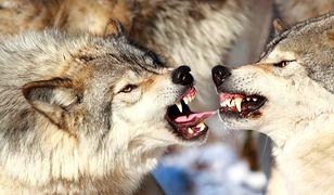 Władze gminy ostrzegają przed wilkami. Pięć ataków w sześć dni