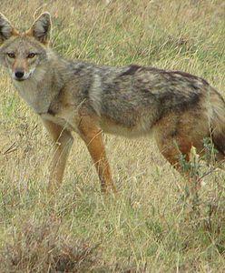 Dzikie zwierzę w Zgierzu. To szakal bądź hiena