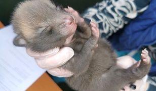 Warszawa. Mały lis uratowany przez Ekopatrol Straży Miejskiej