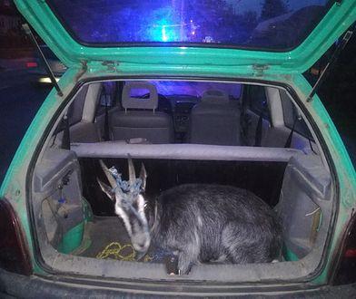 Pijany nastolatek bez prawa jazdy wiózł w bagażniku kozę