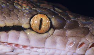 6-metrowy wąż tygrysi poszukiwany jest od lipca