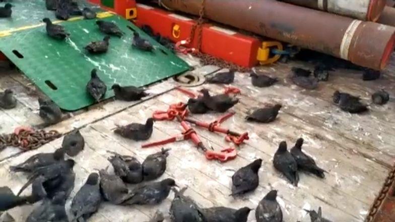 Setki ptaków uwięzione na statku towarowym. Trafiły tam przez pomyłkę