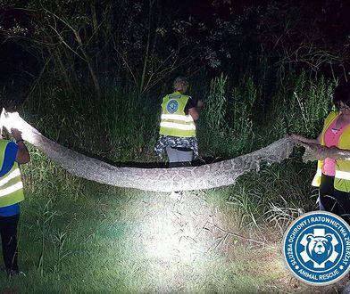 Pozostawiona przez pytona tygrysiego wylinka znaleziona niedaleko miejscowości Gassy w lipcu