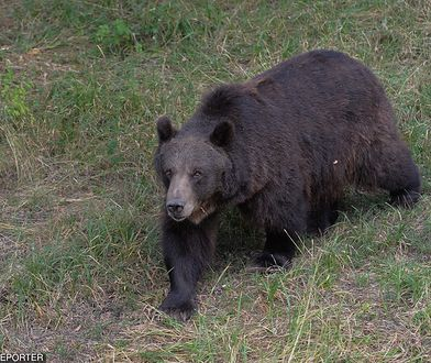 MSZ Polski potwierdza zgon Polaka w Armenii po ataku niedźwiedzia