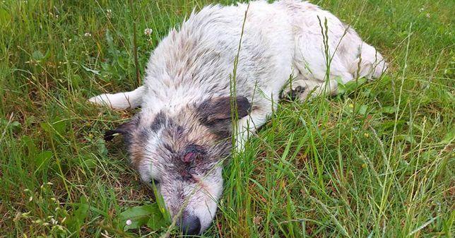 Pies konał na boisku ze śrutem w kręgosłupie. Fart cudem przeżył